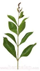 Henna növény, ág